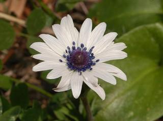 Ranunculaceae - Anemone hortensis