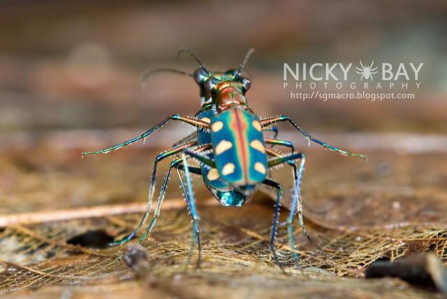Tiger Beetle (Cicindelinae) - DSC_9930