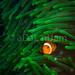 Clown Fish_1 by aDaL niJam