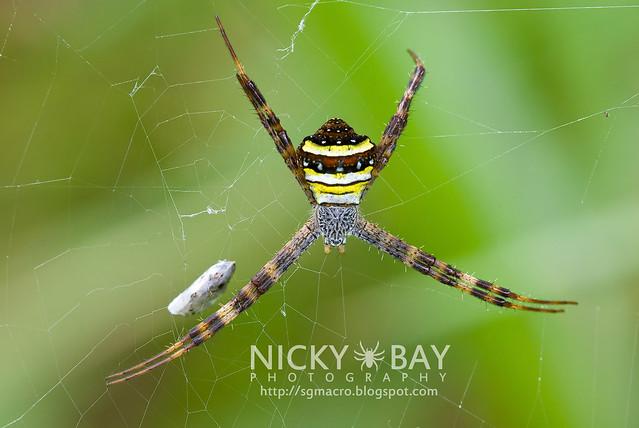 St Andrew's Cross Spider (Argiope pulchella) - DSC_7005