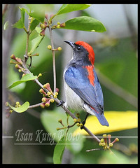 Scarlet-backed Fowerpecker (10)