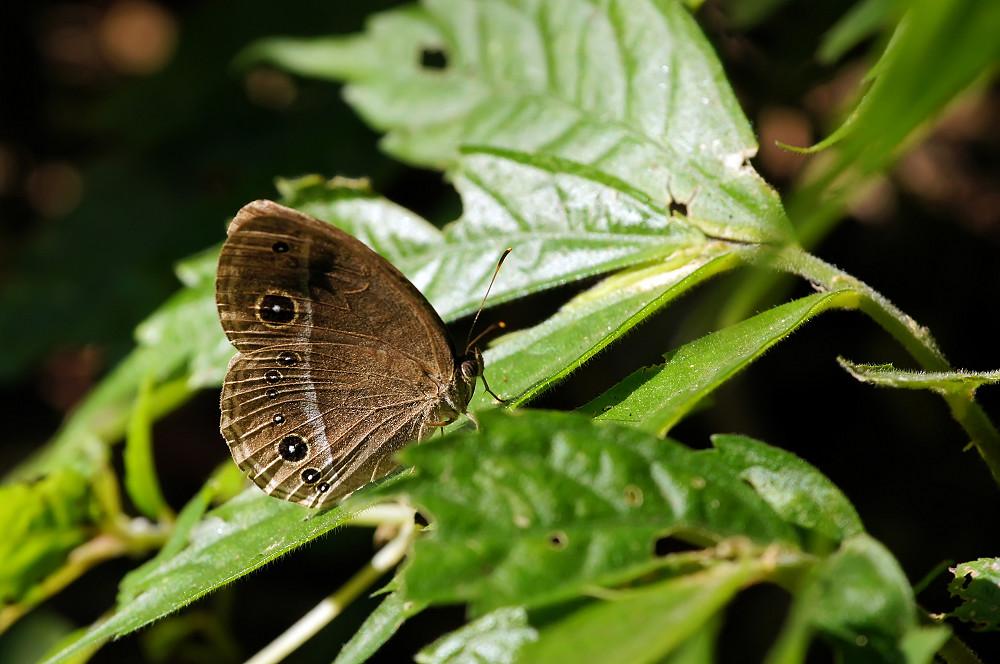 淡色眉眼蝶