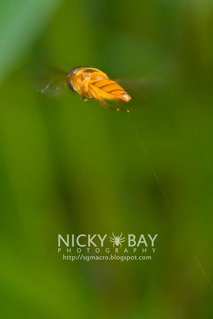 Hoverfly (Syrphidae) - DSC_9680