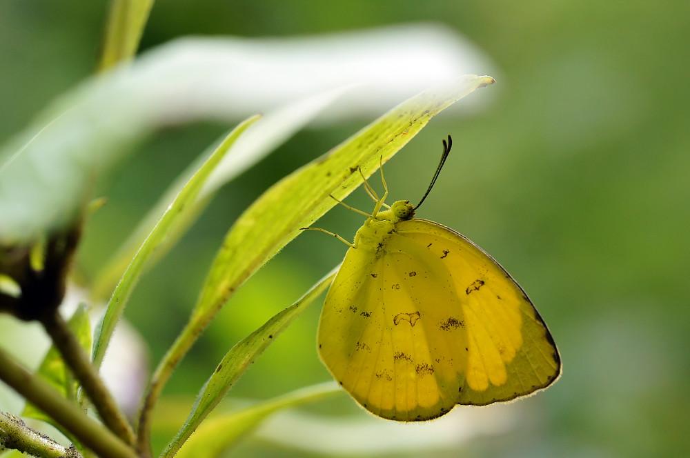 荷氏黃粉蝶