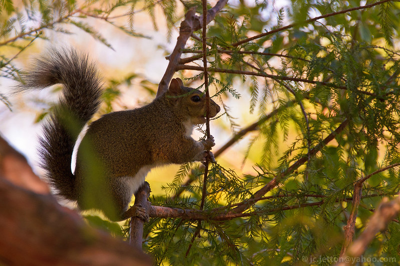 Eastern Grey Squirrel (Sciurus carolinensis) 2 4x6