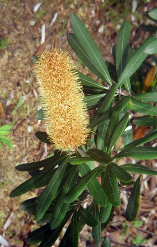 Banksia integrifolia 8324355647_3554cd2794_o
