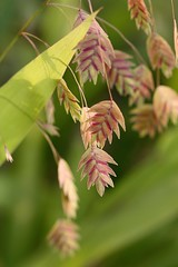 Chasmanthium latifolium, River Sea Oats