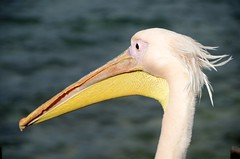 wing(0.0), flamingo(0.0), animal(1.0), pelican(1.0), water bird(1.0), fauna(1.0), close-up(1.0), beak(1.0), bird(1.0), wildlife(1.0),