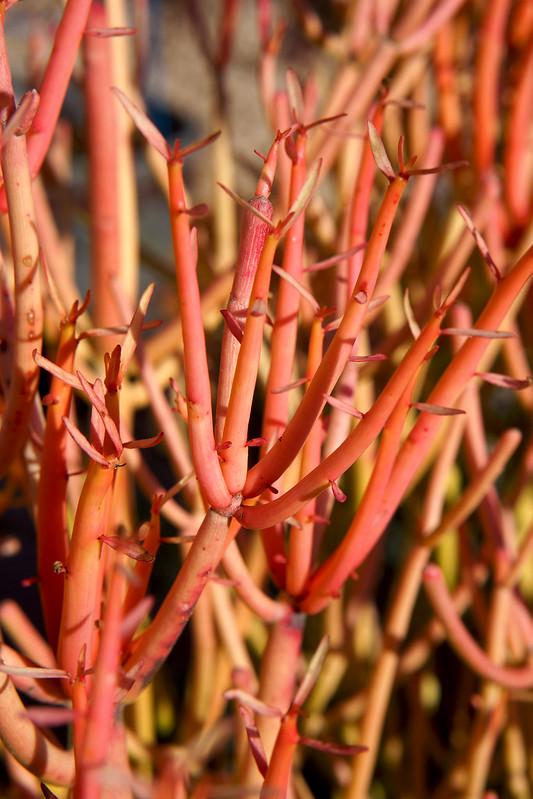 Firestick Succulent 20121231
