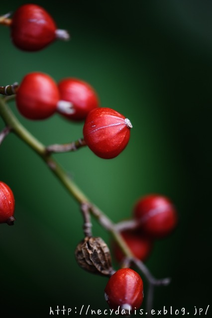 Alpinia zerumbet...