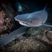 Whitetip reef shark (Triaenodon obesus) at night
