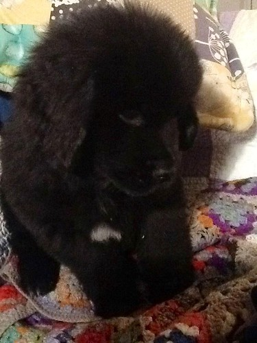 Daisy the Newfie Pup