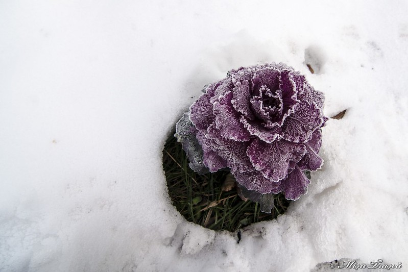 chiciură / hoar-frost