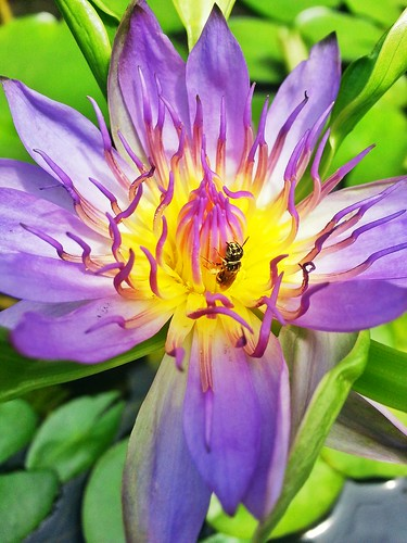 Bee on Waterlily by WeeLing wl