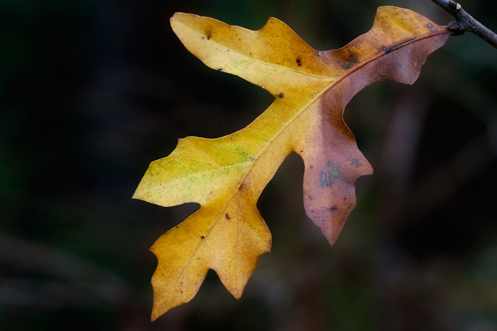 12/365 - Oak Leaf