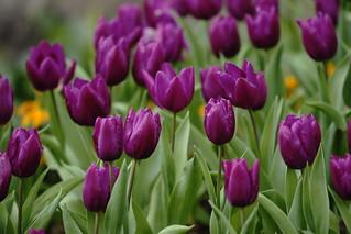 鬱金香 Tulip