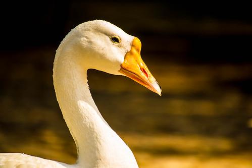 [フリー画像素材] 動物 (その他), 鳥類 (その他), ガチョウ ID:201302060400