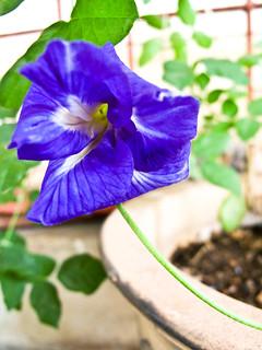 IMG_0353 Bunga telang