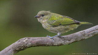 Tangara heinei female-juvenile- (Black-capped Tanager)
