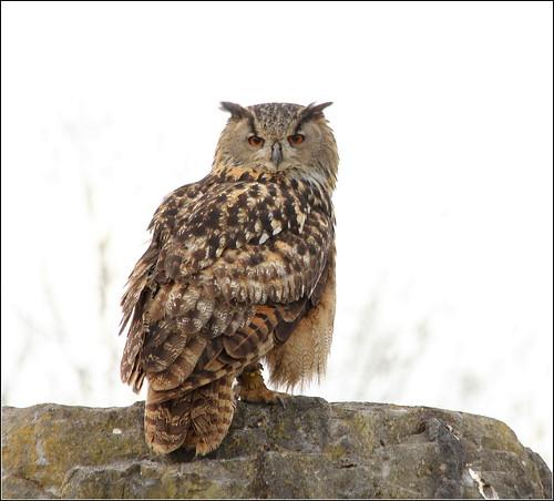 eaglesflying ireland sligo owl captive eagleowl europeaneagleowl