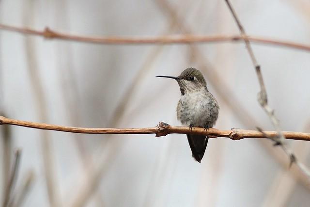 Anna's Hummingbird--DE