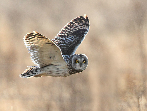 f  Short-eared owl IMG_0603