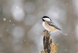 Black-capped Chickadee (photo: Dave Smith via the Flickr Creative Commons license)
