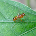 Small photo of Tiny Fly. Sepsidae