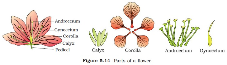 ncert class xi biology chapter 5 morphology of flowering plants aglasem schools hibiscus flower clip art images free hibiscus flower clip art images free