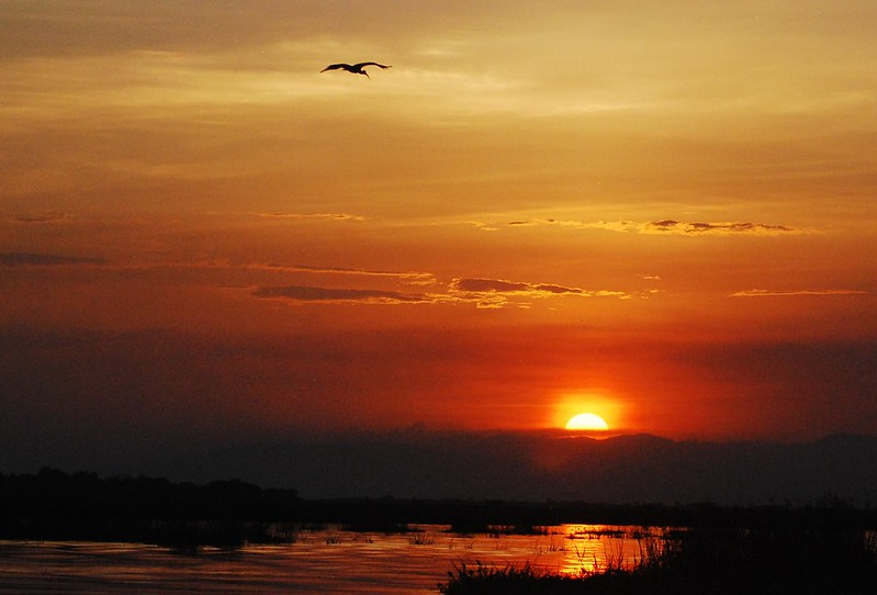 Ibis flies into the sunset