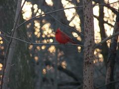 'ello cardinal