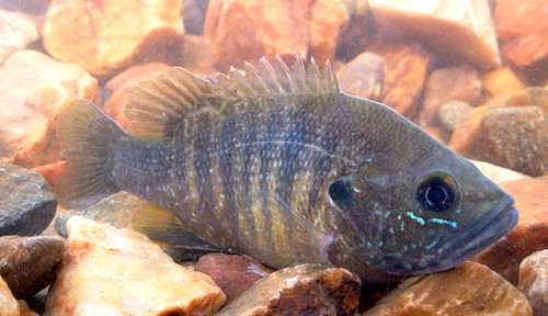 Image of Green Sunfish