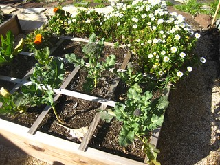 Raised bed with calendula, broccoli, chrysanthemums