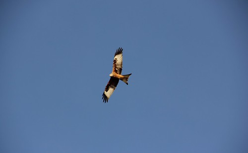 Red Kite3 by zoeinbrussels