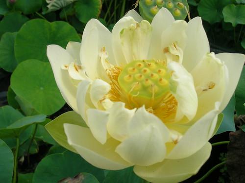 Nelumbo Bing Jiao fiore doppio color crema