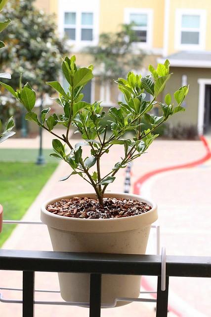 New Gardenia