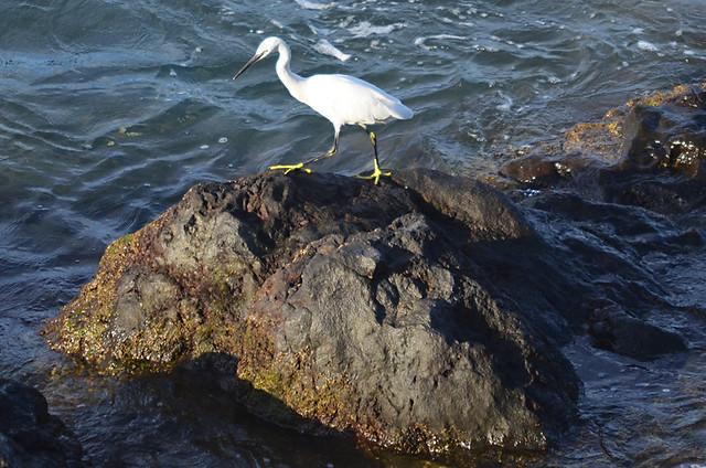 Egret, Puerto de la Cruz, Tenerife