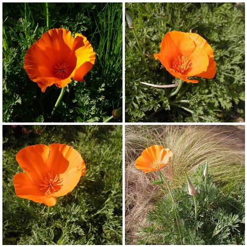 First Poppys Last 4 years by clayplant