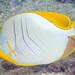 Yellowhead Butterflyfish - Chaetodon xanthocephalus