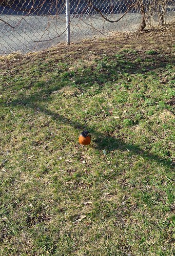 First robin of the year