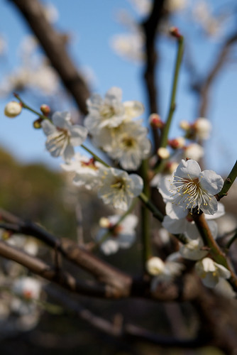 Japanese Plum - White