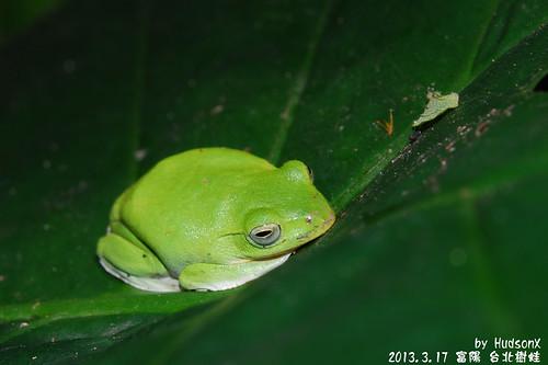 台北樹蛙(3)
