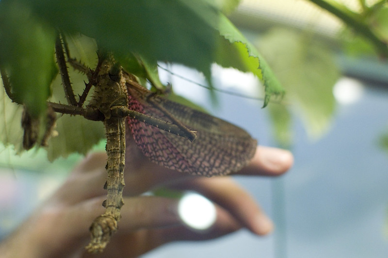 Australian stick insect