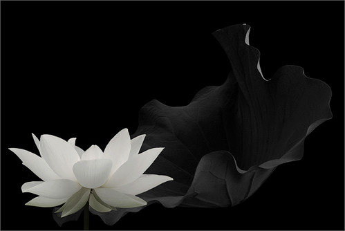 Black and white lotus flower - IMG_6591-2-g-full-1-1000