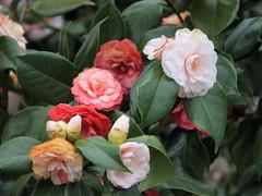 rosa 㗠centifolia(0.0), shrub(1.0), camellia sasanqua(1.0), floribunda(1.0), flower(1.0), plant(1.0), camellia japonica(1.0), theaceae(1.0),