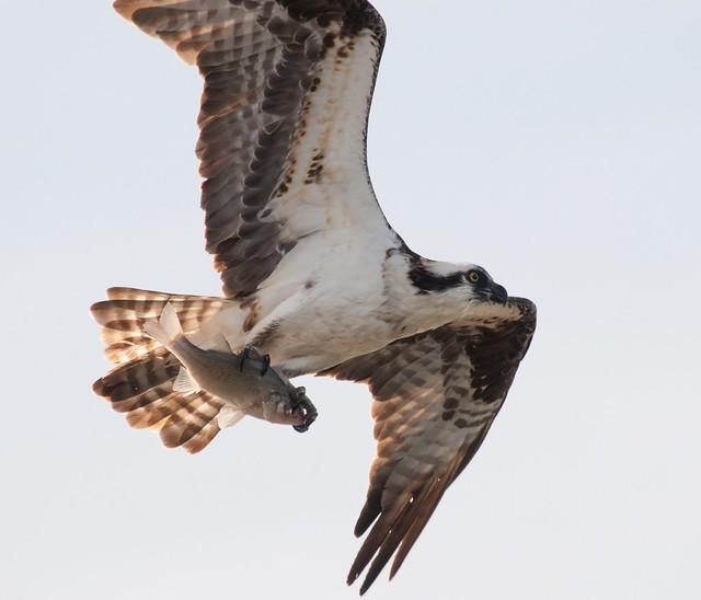 Osprey 3/23 4