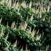 Small photo of Aesculus parviflora (Bottlebrush Buckeye)