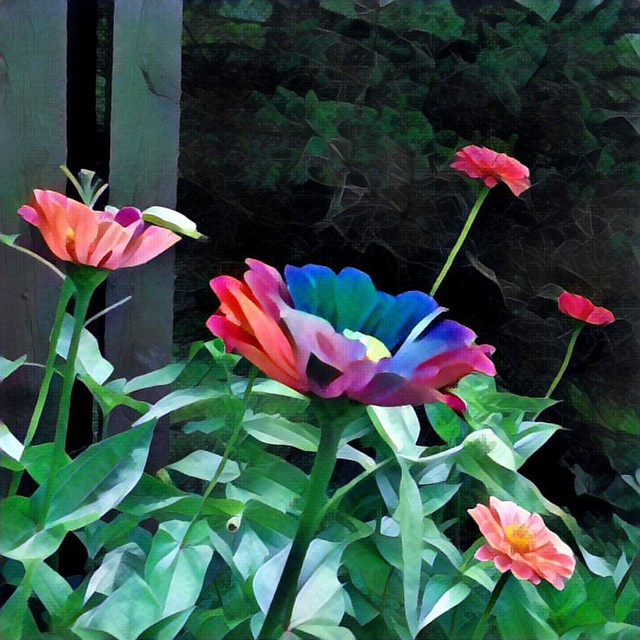 Zinnias #zinnias #flowers #gardens #patiogardens #zinnia #prisma