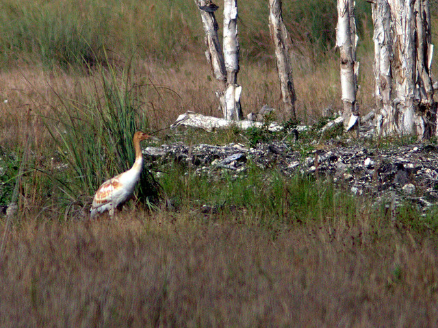 Whooping Crane 2012-15 male Cypress 20130107