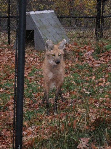 Maned wolf (7th of 8 photos) by Coyoty